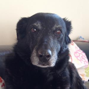 Samra, Labrador, 13