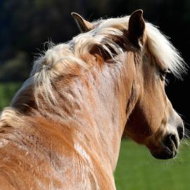 Sommerekzem beim Pferd