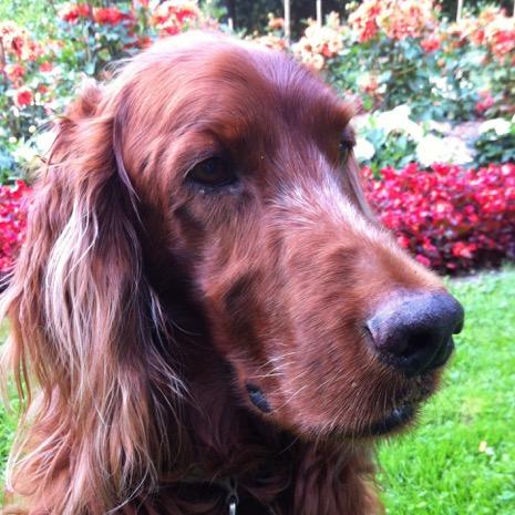 Benny, Irish Setter, 11
